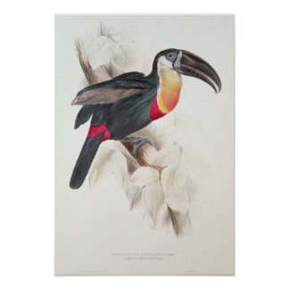 Sulphur and white breasted Toucan, 19th century Poster