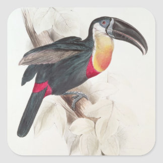 Sulphur and white breasted Toucan, 19th century Square Sticker