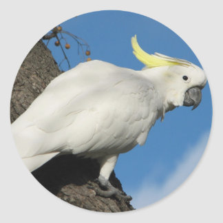 Sulphur crested cockatoo classic round sticker