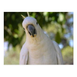 Sulphur crested cockatoo Kakadu Postcard