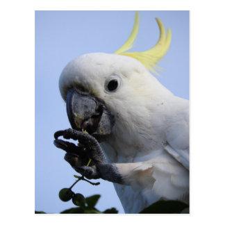Sulphur-Crested Cockatoo Postcard