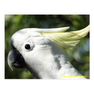 Sulphur Crested Cockatoo Postcard