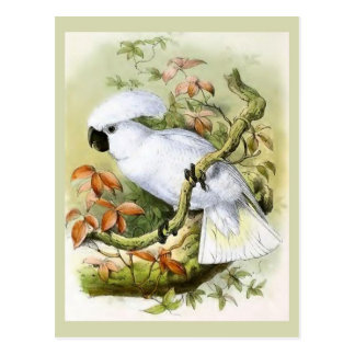 Sulphur-Crested Cockatoo Vintage Illustration Postcard