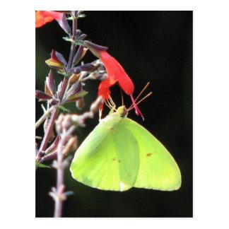 Sulphur on Salvia Postcard