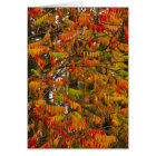Sumac tree in autumn colour in Whitefish, Card
