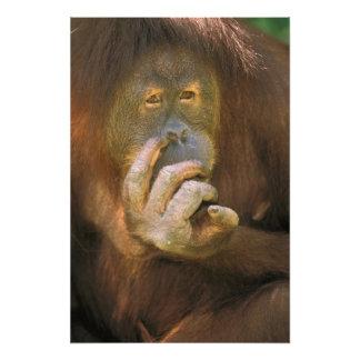 Sumatran Orangutan, or pongo pygmaeus abelii. Photograph