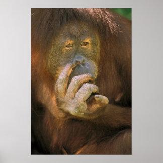 Sumatran Orangutan, or pongo pygmaeus abelii. Poster