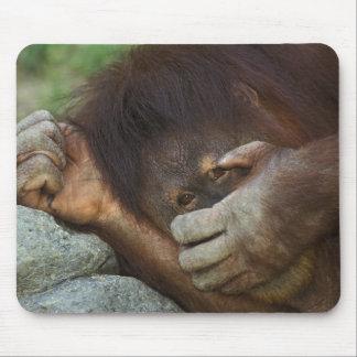Sumatran Orangutan, Pongo pygmaeus Mouse Mat