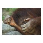 Sumatran Orangutan, Pongo pygmaeus Photo Art