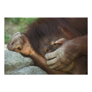 Sumatran Orangutan, Pongo pygmaeus Photo Print