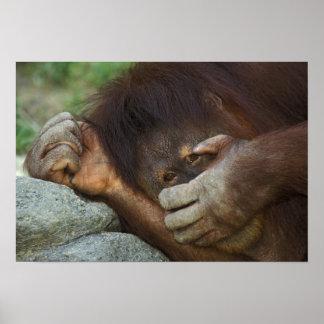 Sumatran Orangutan, Pongo pygmaeus Poster
