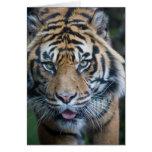 Sumatran tiger cards