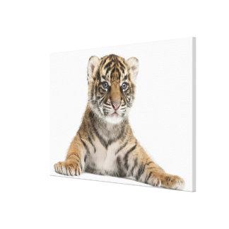 Sumatran Tiger cub 2 Canvas Print