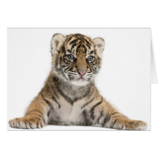 Sumatran Tiger cub Card