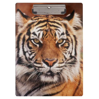Sumatran Tiger, Panthera tigris Clipboard