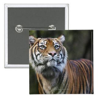 Sumatran Tiger (Panthera tigris sumatrae) 15 Cm Square Badge