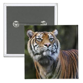 Sumatran Tiger (Panthera tigris sumatrae) in 15 Cm Square Badge