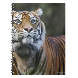 Sumatran Tiger (Panthera tigris sumatrae) in Note Books