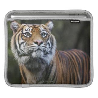 Sumatran Tiger (Panthera tigris sumatrae) iPad Sleeve