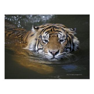 Sumatran tiger, Panthera tigris sumatrae Postcard