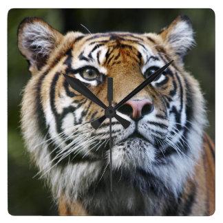 Sumatran Tiger (Panthera tigris sumatrae) Square Wall Clock
