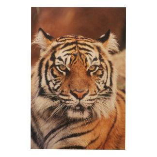 Sumatran Tiger, Panthera tigris Wood Print