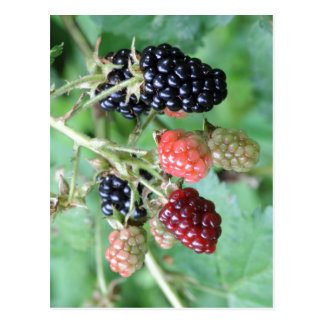 Summary Description Blackberries in a range of rip Post Cards