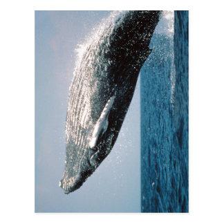 Summary Humpback Whale ( Megaptera novaeangliae )  Postcard