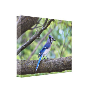 Summer Blue Jay Stretched Canvas Print