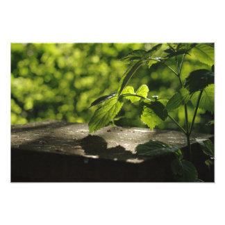 Summer Evening Leaves Photographic Print