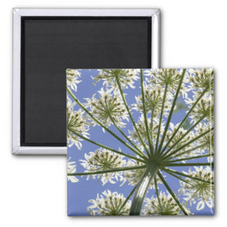 Summer Flower Cow Parsley Magnet