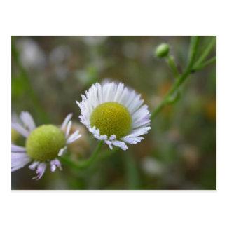 summer flower - dewy aster postcard