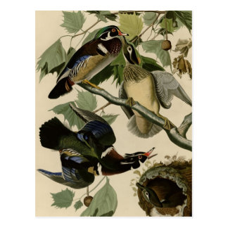 Summer or Wood Duck Postcard