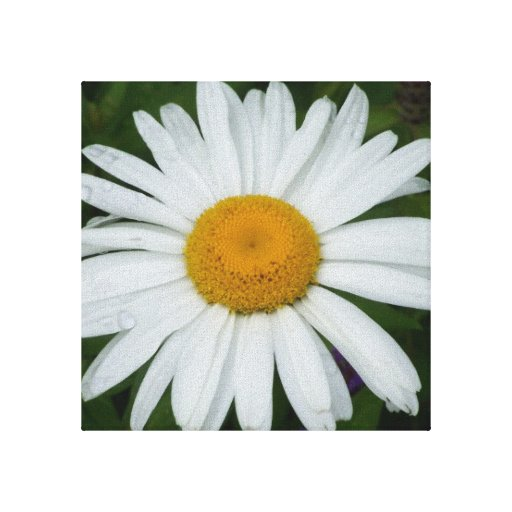 Summer Shasta Daisy Stretched Canvas Print