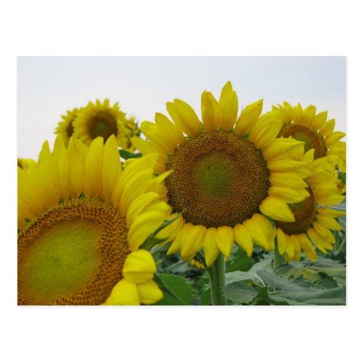 Summer Sunflower Series Postcard