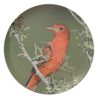 Summer Tanager, Piranga rubra, male eating Dinner Plate