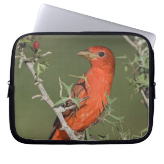 Summer Tanager, Piranga rubra, male eating Laptop Sleeve