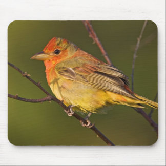Summer Tanager Piranga rubra) young male Mouse Mat