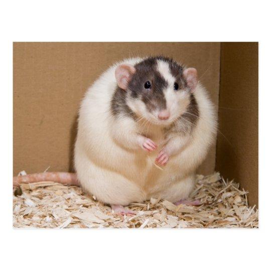 sumo rat postcard