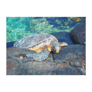 Sun bathing turtle Kiholo Bay Hawaii canvas print