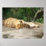Sun Loving Tiger Posters