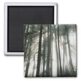 Sunbeams streaming through trees, Mount Rainier Magnet