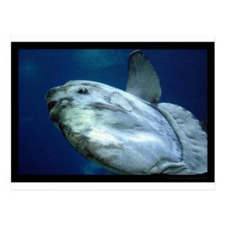 Sunfish Mola Mola 001 Postcard