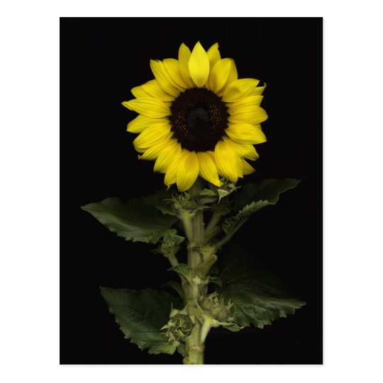 Sunflower 11 postcard