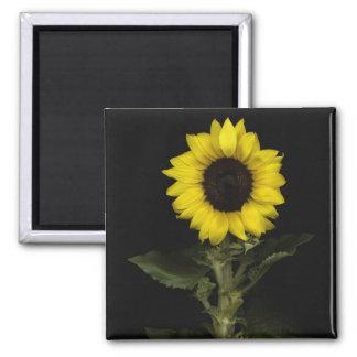 Sunflower 11 square magnet