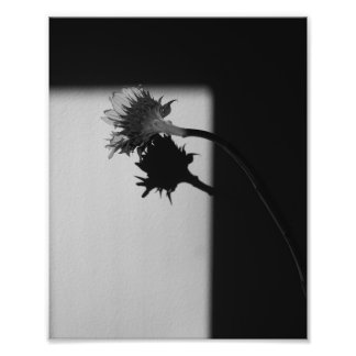 Sunflower and Shadow - Black and White Photograph