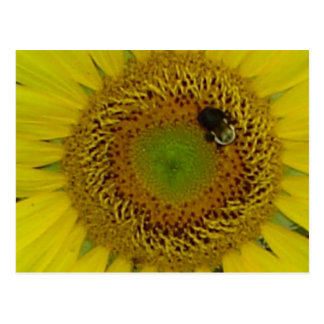 Sunflower Bee Pretty Postcard