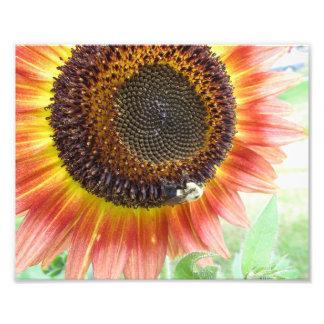 Sunflower, Boston, MA 8x10 photo