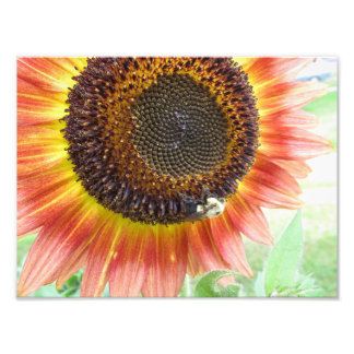 Sunflower & Bumblebee, Boston 8x10 photo