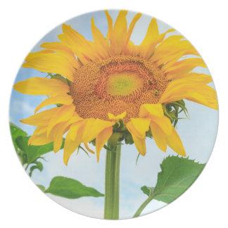 Sunflower, community garden, Moses Lake, WA, USA Plates